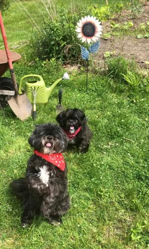 Frankie and Maggie show off their red bandannas during outdoor playtime at JMF Pets' dog daycare